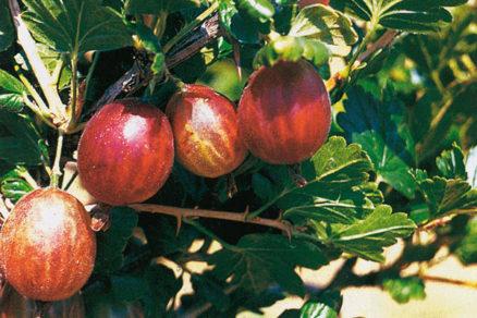 letny rez ovocnych drevin 2. cast