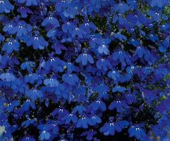 lobelka star deep blue