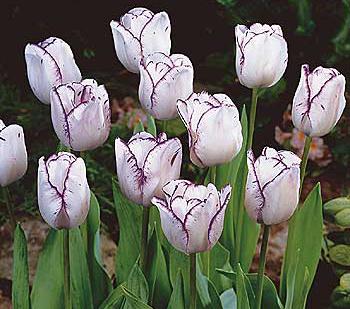 Magier tulipán