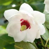 magnolia letna
