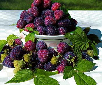 Malina fialová