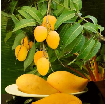 Mangovník