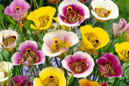 mormonsky tulipan