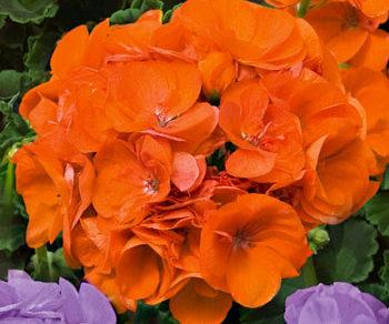 muskat shocking orange