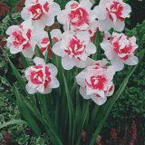 Narcis Pink paradise