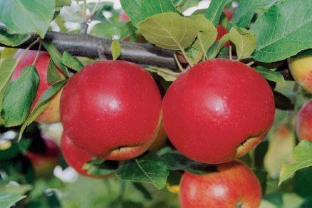 odstranovanie pricin striedavej rodivosti jabloni