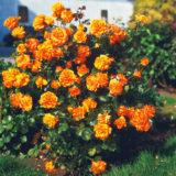oranzova obrovska ruza krikova