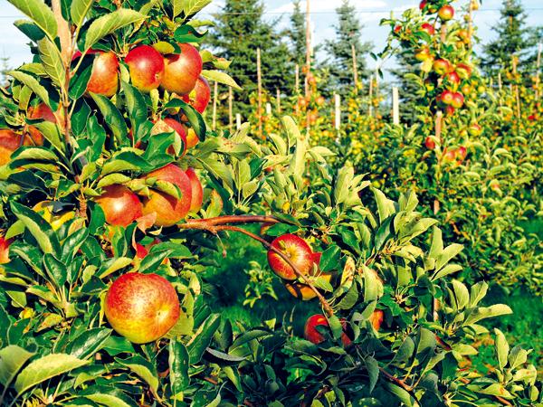 ovocne stromy rezat ci ohybat
