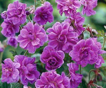pakost himalajsky fialovy