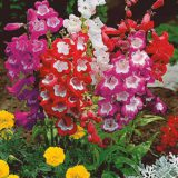 penstemon hybridny