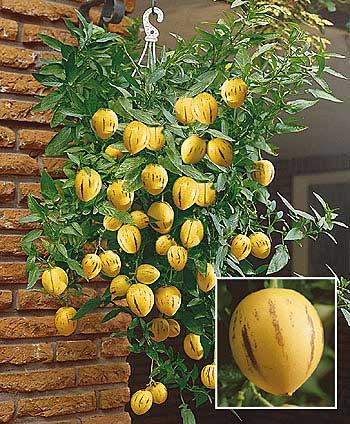 pepino gold chuti ako zlty melon