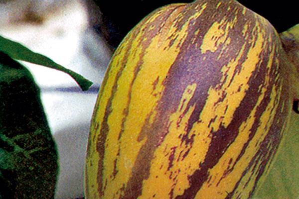 pepino solanum muracato