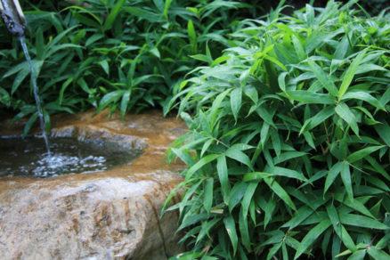 pestovanie bambusov