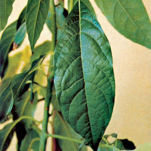 pestovanie exotickych rastlin avokado