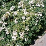 pestovanie ruzi 1. cast