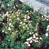 pestovanie ruzi 2. cast