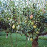 podpery pod ovocne stromy