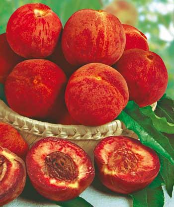 Rubino broskyňa s červenou dužinou