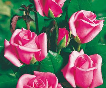 Ruža Queen Elisabeth