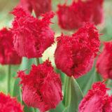Tulipán Barbados