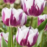 tulipan blueberry
