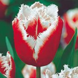tulipan canasta