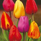 tulipan darwin hybrid