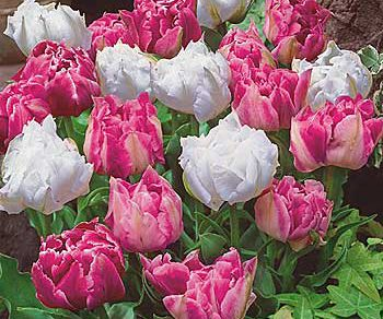 Tulipány Elegance