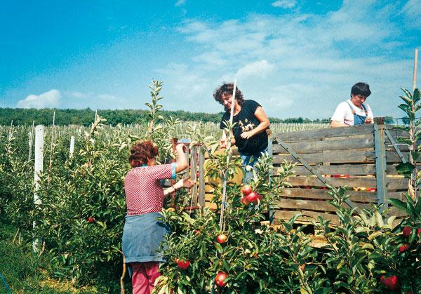 Výber vhodných odrôd jabloní