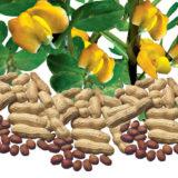 Vypestujte si svoje arašidy