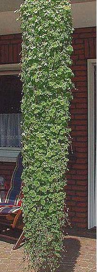 zadusnik brectanovity
