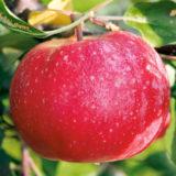 zimne jablko red love era
