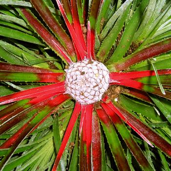 Zimuvzdorná bromélia záhradná