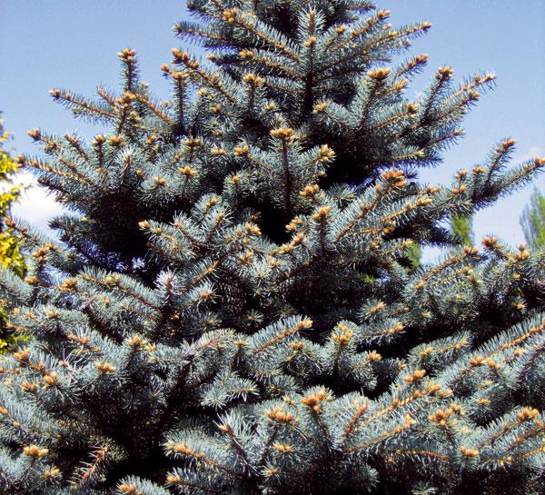 Živé vianočné stromčeky