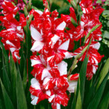 zizanie 10 12 cm hybridy gladiol