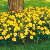 Zlatožltá záhonová ruža